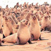 Die Robben am Kreuzkap