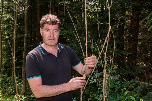 Andreas Amann mit einer vom Schädling zerstörten Jungesche vor fünf Jahren. Jetzt gibt es endlich Hoffnung. VN/Stiplovsek
