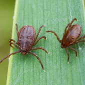 Fast jede zweite Zecke in Österreich ist mit Krankheitserregern infiziert