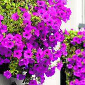 Für Blütenpracht auf dem Balkon