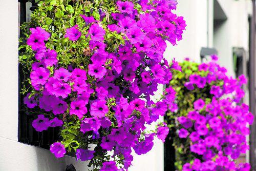 Da Balkonpflanzen viel Wasser brauchen, sollten Sie sie regelmäßig gießen. Am besten frühmorgens oder abends.