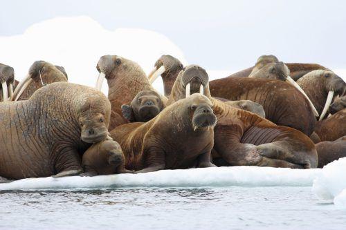 Das Eis wird durch die Erderwärmung immer dünner. Alaskas Ureinwohner befürchten die Vernichtung ihrer Lebensgrundlage.  Foto: AP