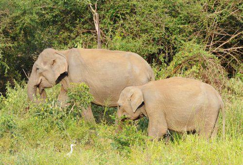 Dem WWF zufolge leben derzeit noch etwa 2000 Elefanten in Myanmar. Nun sei das Leben der Tiere ernsthaft bedroht.  Foto: AFP