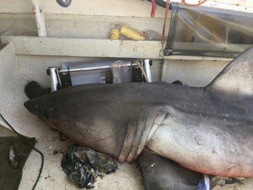 Der Hai wurde mit einem Gabelstapler aus dem Boot gehoben.  ap