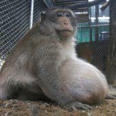 Affe wurde auf Diät gesetzt