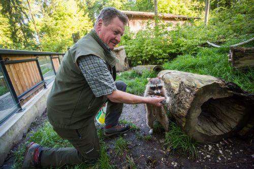Der Waschbär frisst dem Tierpfleger aus der Hand. Jeden Tag schaut Viktor Watzenegger nach dem Rechten und kümmert sich um die 154 Tiere.