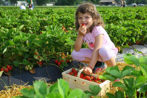 Die fünfjährige Viktoria aus Rankweil nascht beim Erdbeerpflücken gerne ein paar der aromatischen Früchte. Foto: VN/Hofmeister
