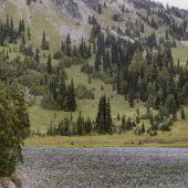 Alaska-Zedern fallen Klimawandel zum Opfer