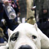 Ein Kampfhund und zahnlose Gesetze
