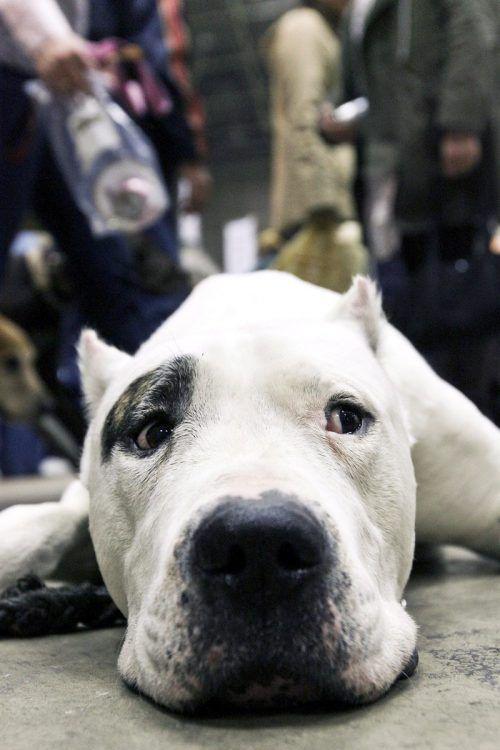 Eine Familie fürchtet sich vor einem Dogo Argentino in der Nachbarschaft.