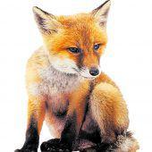 Fuchsbestand arg geschrumpft