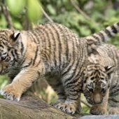 Kleine Tiger auf Erkundungstour