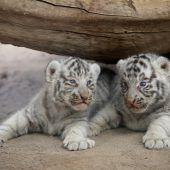 Süßer Tigernachwuchs