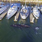 10 Meter langer Wal verirrt sich in Jachthafen
