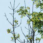 Eschensterben nimmt riesige Ausmaße an