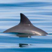 Mexiko will bedrohte Schweinswale retten