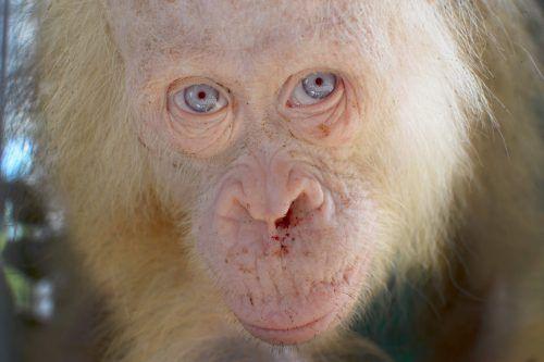 Tierschützer kümmern sich um den Orang-Utan. Foto: AFP