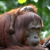 Orang-Utan-Mix mit fatalen Folgen für Tiere