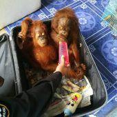 Schmuggler hatte Orang-Utans im Gepäck