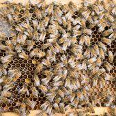 Viren als Bienenkiller