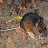 Die Krankheit von der Maus: Hantavirusinfektion droht