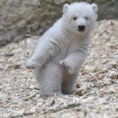 Da steppt der Bär