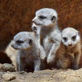 Neugierige Erdmännchen-Babys