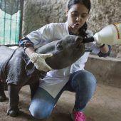 Durstiges Baby-Nashorn