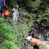 Kuh aus dem Stausee gezogen