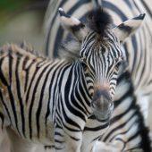 Nachwuchs bei den Zebras