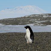 Klima setzt Pinguinen zu