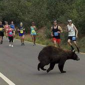 Bär kreuzt Straße bei Lauf