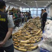 Tonnen von Elfenbein in Fischladung versteckt