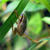 Rote Liste für bedrohte Amphibien in Vorarlberg