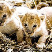 Die Löwenbabys sind los