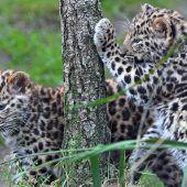 Amurleoparden heißen Akeno und Zivon
