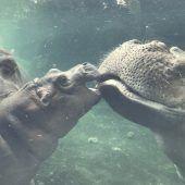Baby-Hippo auf Tauchstation