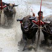 Wenn Büffel durchs Wasser rasen