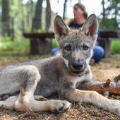 Wolfsnachwuchs mit Flasche aufgezogen