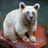 Er hŏt Pratza wia an Bär.