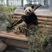 Berliner Zoo hat eine neue Panda-Anlage