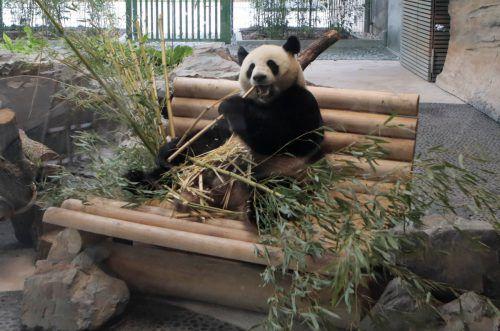 Für die Leihgabe muss der Zoo jährlich eine Million US-Dollar an China bezahlen, wobei ein Großteil davon in den Artenschutz fließen soll. Rts