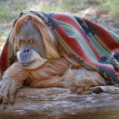 Orang-Utan feiert den 50er