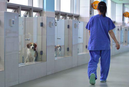 """Von Forschern der Sooam Biotech Research Foundation geklonte Hunde warten auf die Reise zu ihren Besitzern. Diese zahlen für ihre """"von den Toten zurückgebrachten"""" Lieblinge sehr viel Geld.FOTO: AFP"""