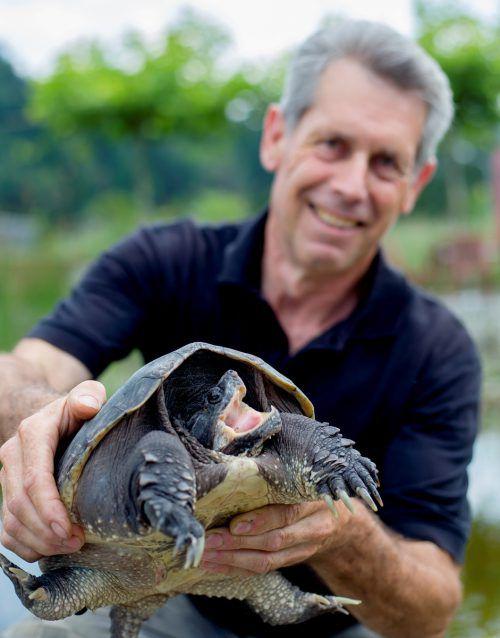 Vorübergehend kümmert sich Tierretter Karl Heinz Hanny um die Schnappschildkröte. VN/Paulitsch