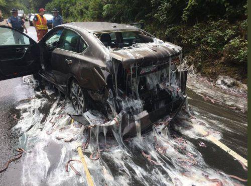Wie im Horrorfilm: Dieser Unfallwagen ist mit der glibberigen Masse der Schleimaale überzogen.  Foto: Reuters