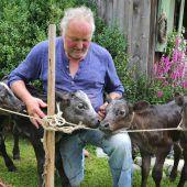 Kuh im Allgäu gebärt seltene Vierlings-Kälber