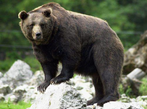 Ein Braunbär attackierte und tötete einen Tierpfleger.  Foto: dpa
