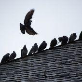 Der Ärger über Tauben nimmt zu