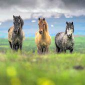 Laufskálarétt: Pferd sein auf Island